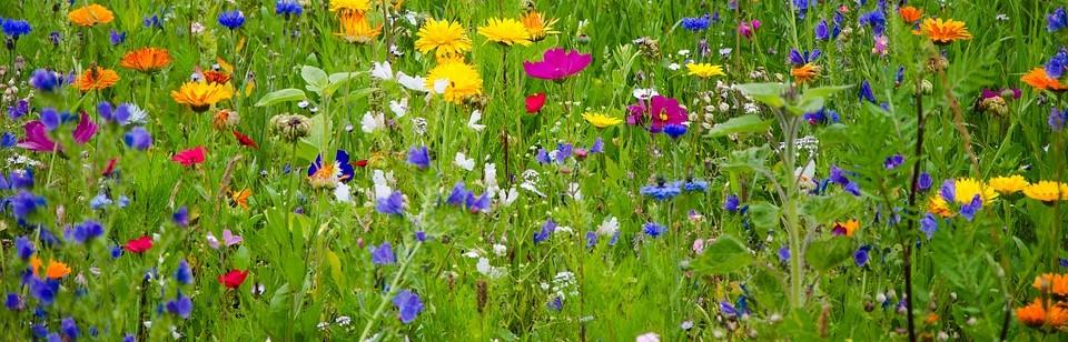 blomsteräng vilda blommor