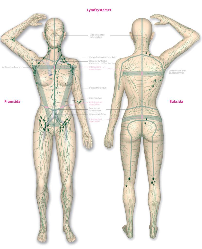 Bild över Lymfsystemet